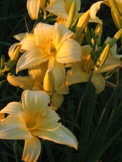 Hemerocallis Hybr. Irish Limerick
