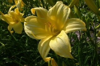 Hemerocallis Hybr. Buried Treasure