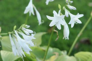 Hosta Plantaginea-Hybr. Royal Standard