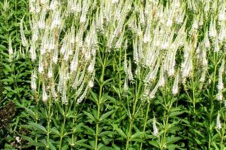 Veronicastrum virginicum Album***