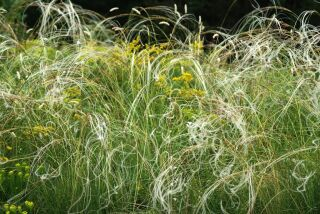 Stipa pulcherima fo. nudicostata (barbata)