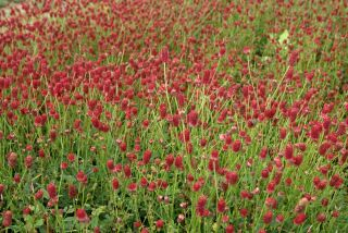 Sanguisorba officinalis Tanna***