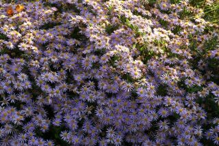 Aster ageratoides Blaukuppel