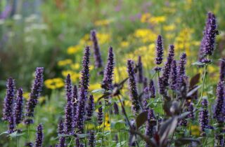 Agastache Hybr. Black Adder