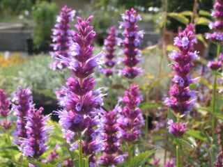 Agastache Hybr. After Eight