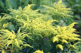 Solidago canadensis Loysder Crown