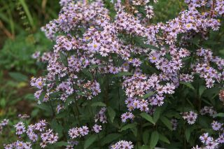 Aster ageratoides Harry Schmidt