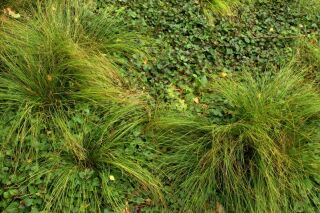 Carex sabynensis Thinny Thin