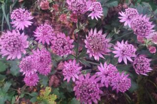 Astrantia major Star of Beauty®
