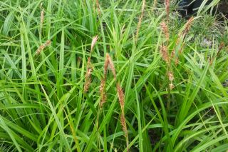 Carex morowii subsp. foliosissima Irish Green