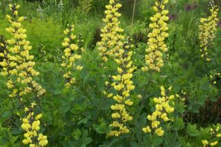 Baptisia  Lemon Meringue®