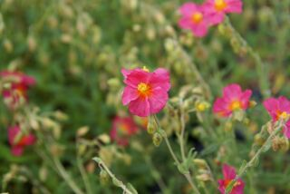 Helianthemum Hybr. Ben Hope