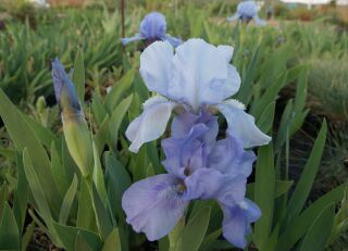 Iris barbata-nana Blue Denim