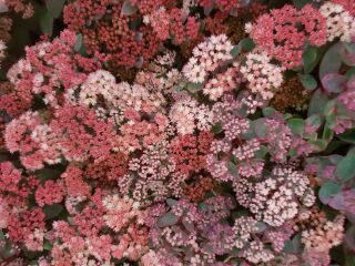 Sedum telephium Moonlight Serenade